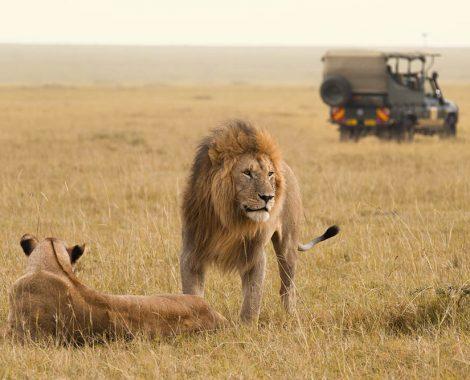 African lion couple and safari jeep in the Masai Mara in Kenya.